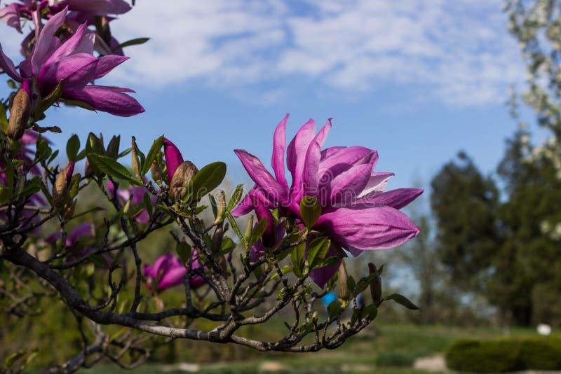 Bello fondo dei fiori della magnolia Priorità bassa floreale della sorgente Albero della magnolia in fioritura su un pomeriggio c immagine stock libera da diritti