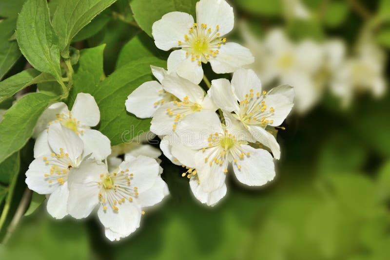 Bello fondo della molla con il ramo di fioritura del gelsomino fotografia stock