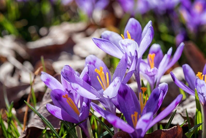 Bello fondo della molla, croco viola o fiori dello zafferano in natura fotografia stock libera da diritti