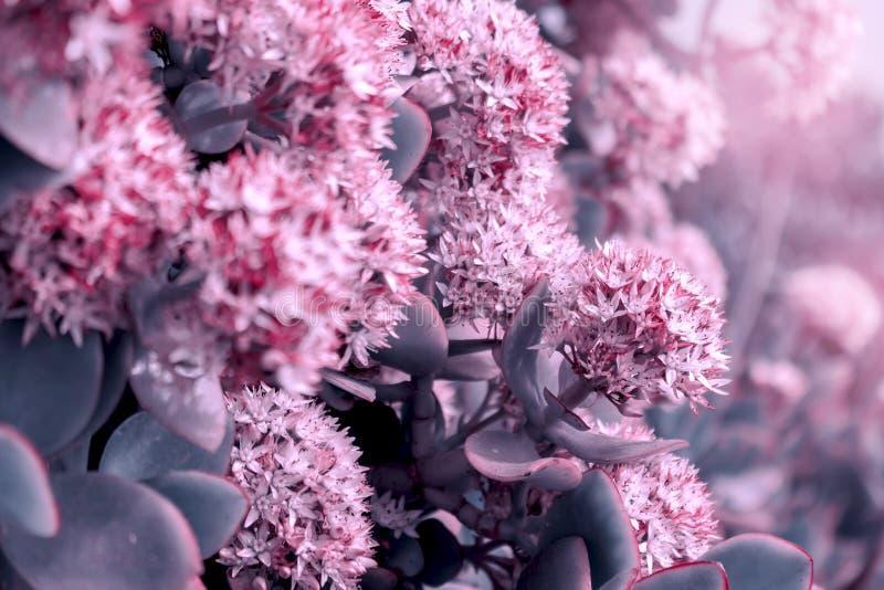 Bello fondo di estate con fienarola dei prati selvatica ed i fiori rosa nei raggi del tramonto fotografie stock