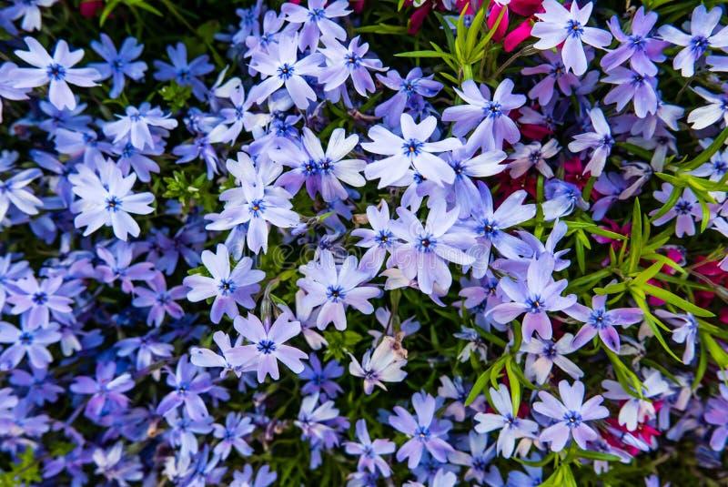 Bello fondo di piccoli fiori dei flox fotografie stock libere da diritti