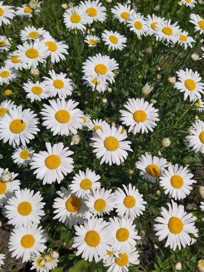 Bello fondo di tantissime margherite bianche del giardino su un fondo verde immagine stock libera da diritti