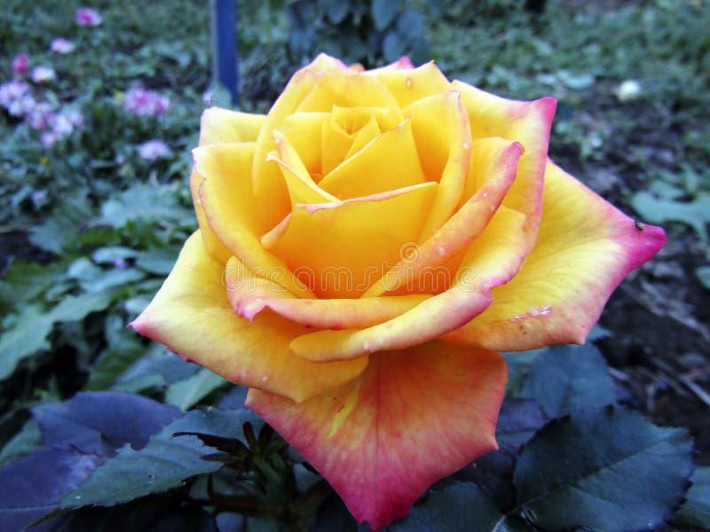 Bello fondo floreale con un primo piano rosa giallo arancione immagini stock