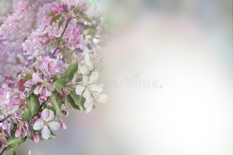 Bello fondo floreale della molla - di melo sbocciante con i petali rosa delicati immagine stock libera da diritti