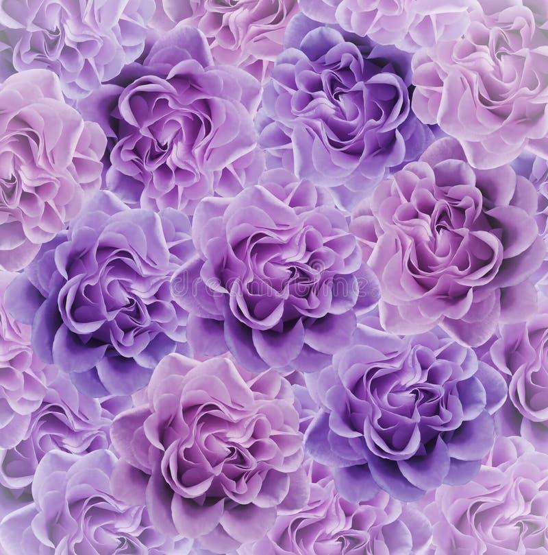 Bello fondo rosa-viola floreale Composizione nel fiore Mazzo dei fiori dalle rose rosa Primo piano fotografia stock libera da diritti