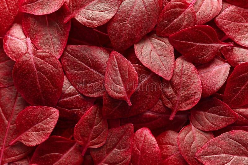Bello fondo rosso delle foglie Copre di foglie la struttura, struttura della pianta verde, basilico lascia il fondo fotografia stock libera da diritti