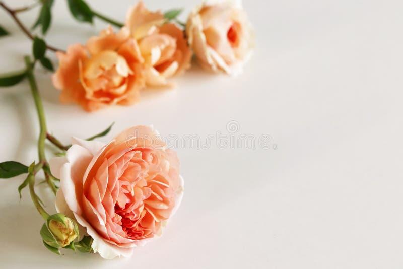 Bello fresco è aumentato su fondo bianco Fondo romantico delicato Vista superiore, disposizione piana Fiori, molla fotografie stock libere da diritti