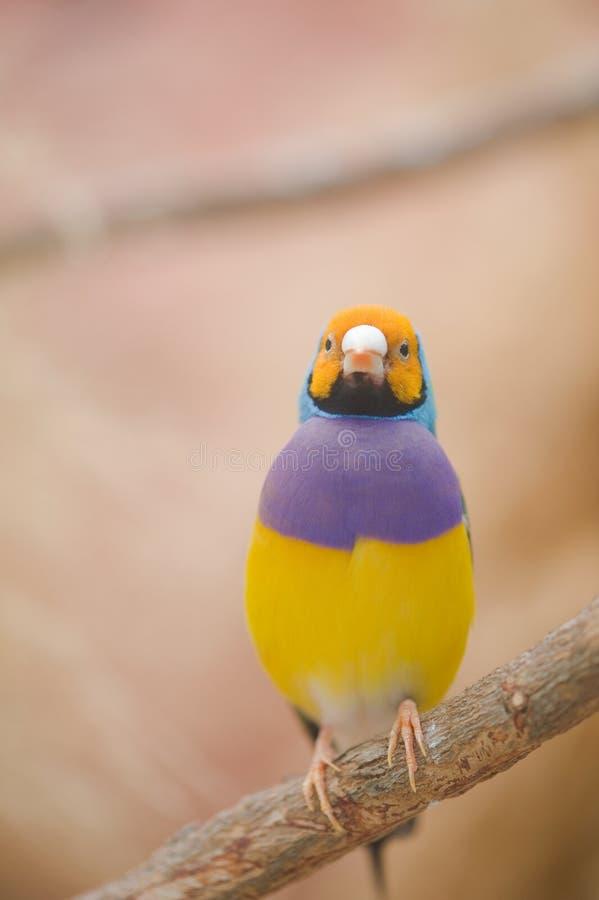 Bello fringillide di Gouldian. fotografia stock libera da diritti