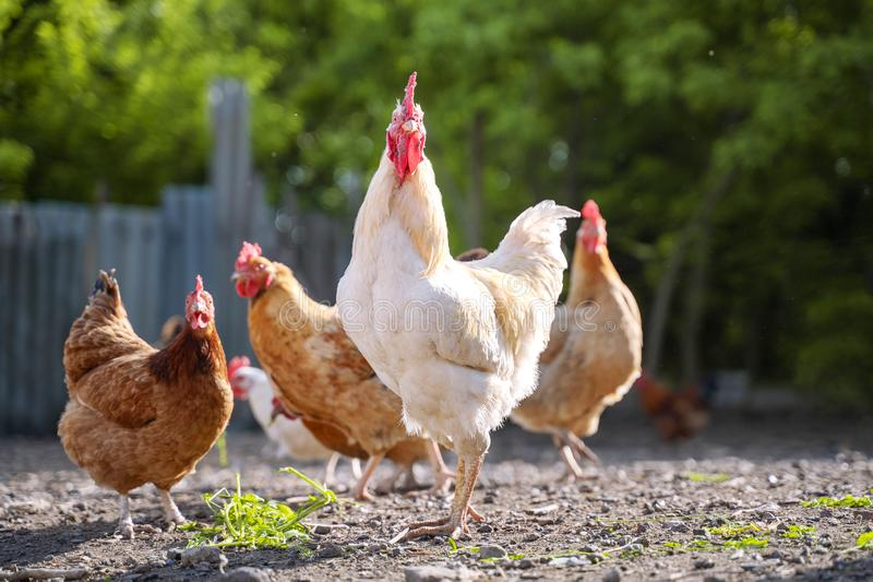Bello gallo bianco nella società con i polli L'iarda dell'agricoltore con pollame Villaggio di agricoltura di fauna immagini stock libere da diritti