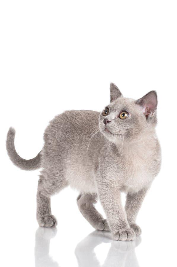 Bello gattino birmano fotografia stock