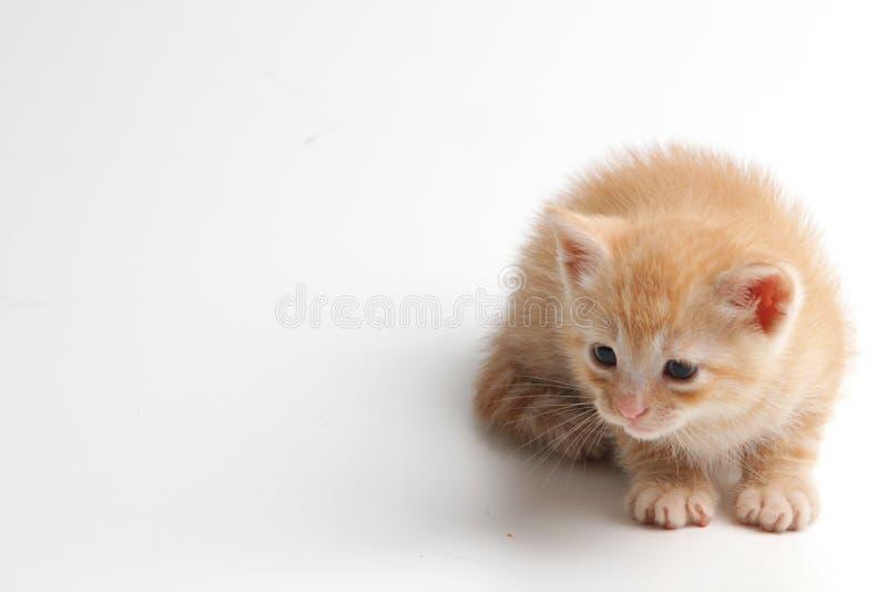 Bello gattino marrone su un fondo bianco immagini stock libere da diritti