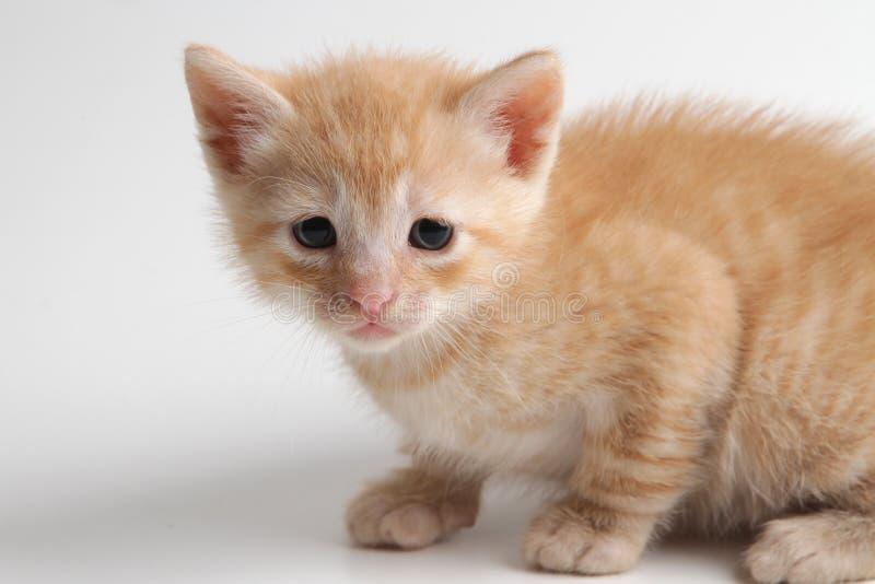 Bello gattino marrone su un fondo bianco fotografie stock libere da diritti