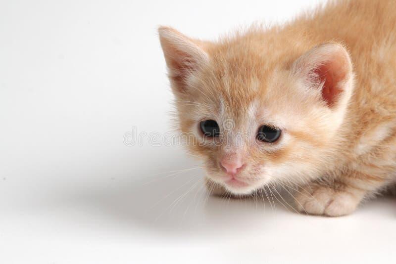 Bello gattino marrone su un fondo bianco fotografia stock