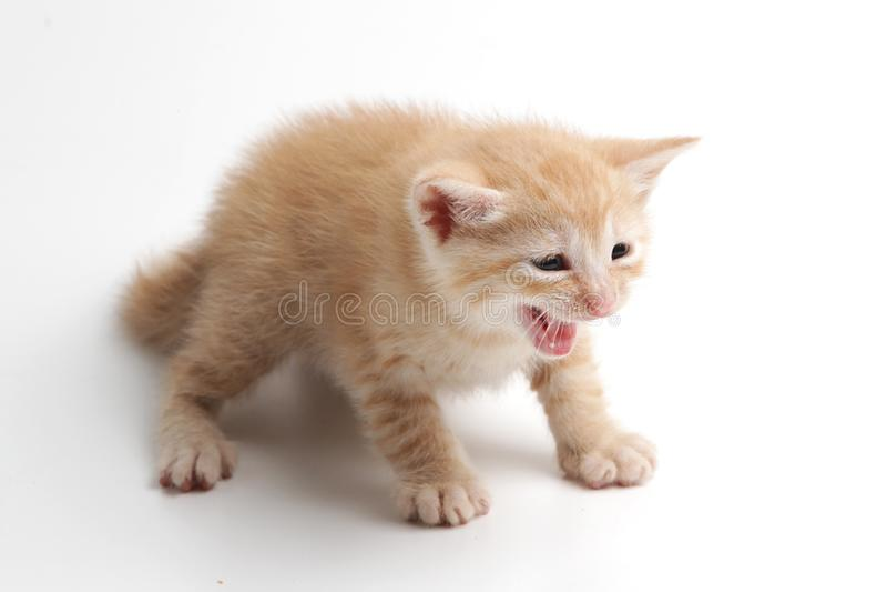 Bello gattino marrone su un fondo bianco fotografia stock libera da diritti