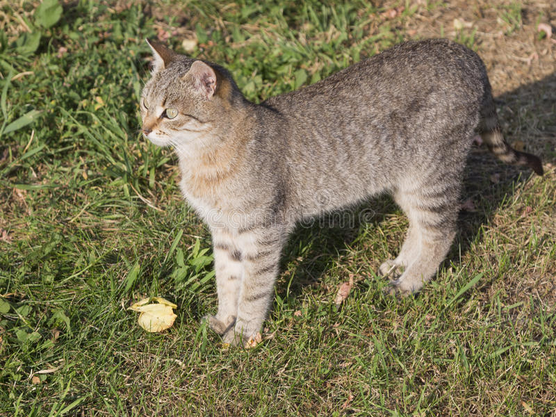 Bello gatto astuto di grigio-Brown immagine stock libera da diritti