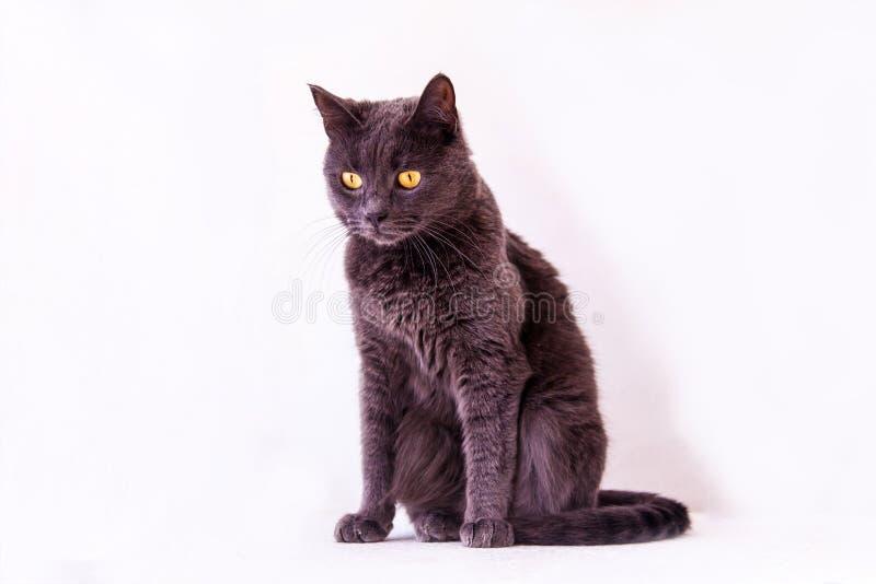 Bello gatto britannico della razza di Shorthair a fondo bianco immagine stock libera da diritti