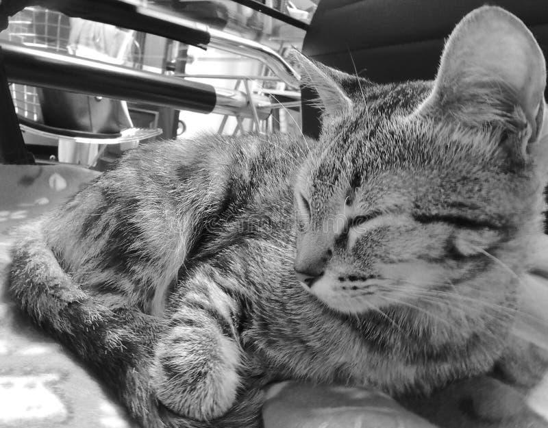 Bello gatto che dorme nell'ufficio fotografie stock