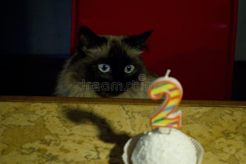 Bello gatto con gli occhi azzurri e la torta di compleanno fotografie stock