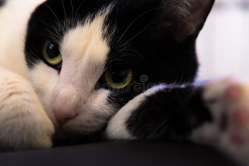 Bello gatto con gli occhi giallo verde ed il naso rosa fotografia stock libera da diritti