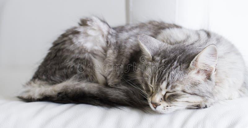 Bello gatto d'argento della razza siberiana nella casa fotografie stock