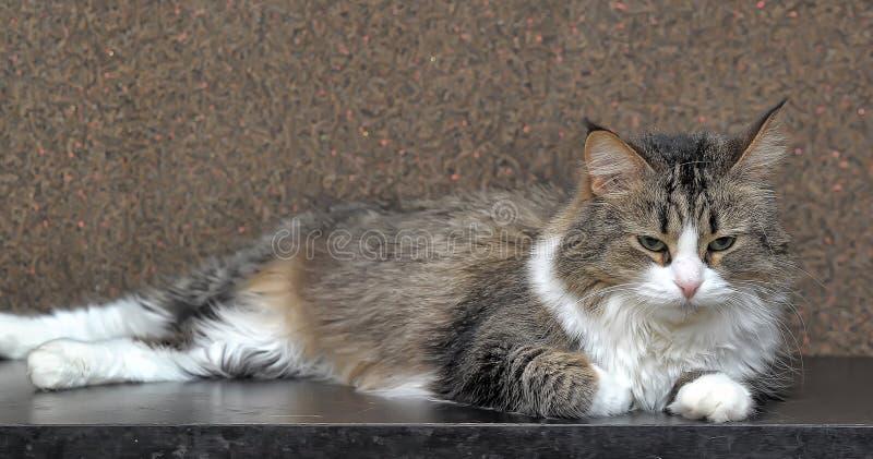 bello gatto della foresta norvegese fotografia stock libera da diritti