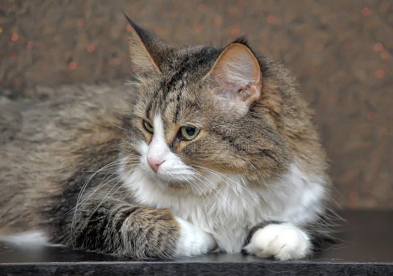 bello gatto della foresta norvegese fotografie stock