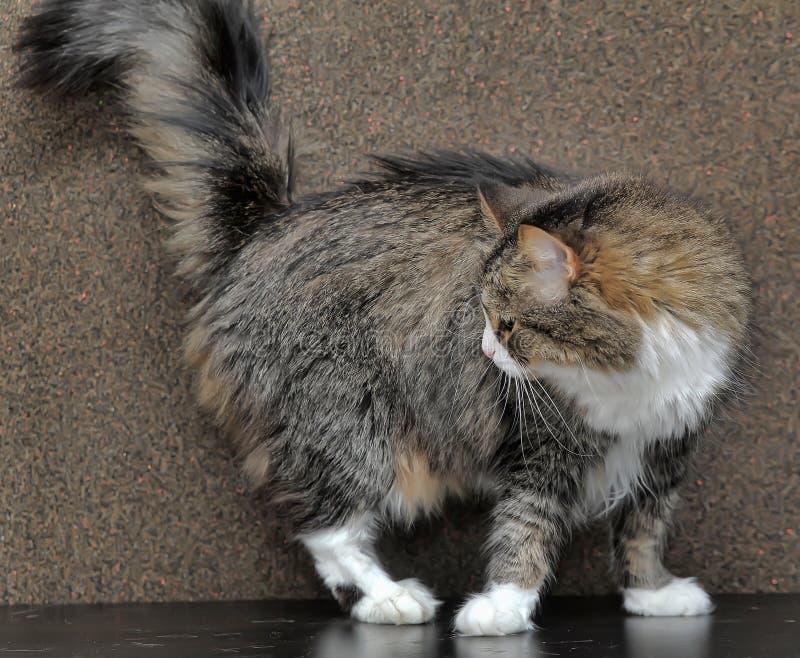 bello gatto della foresta norvegese fotografia stock