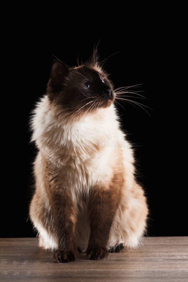 Bello gatto di balinese isolato sul nero fotografia stock libera da diritti