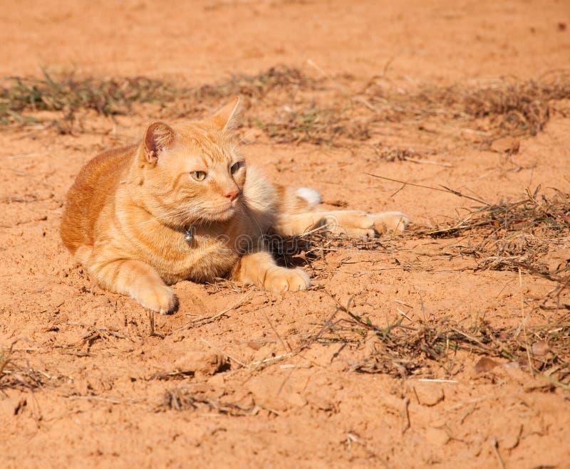 Bello gatto di tabby arancione in sole fotografia stock