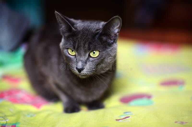Bello gatto grigio a casa Occhi verdi fotografia stock libera da diritti