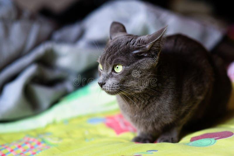 Bello gatto grigio a casa Occhi verdi immagini stock libere da diritti