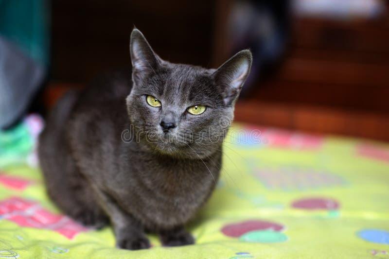 Bello gatto grigio a casa Occhi verdi immagine stock