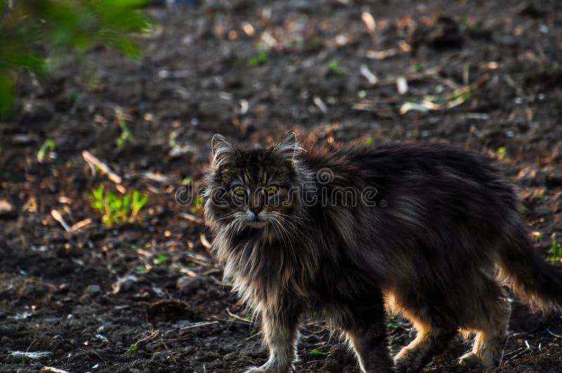 Bello gatto grigio che cammina sulla terra Gray Cat Animale domestico esterno fotografia stock
