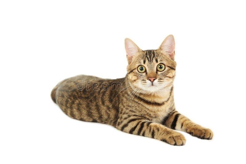 Bello gatto isolato su fondo bianco fotografie stock