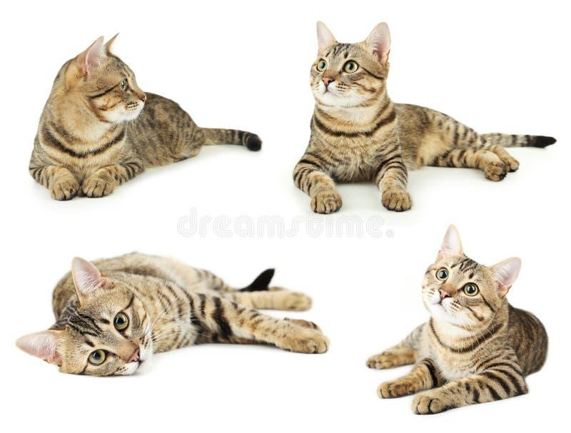 Bello gatto isolato su fondo bianco immagini stock
