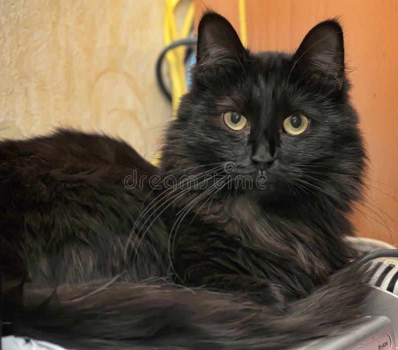 Bello gatto lanuginoso nero fotografie stock libere da diritti