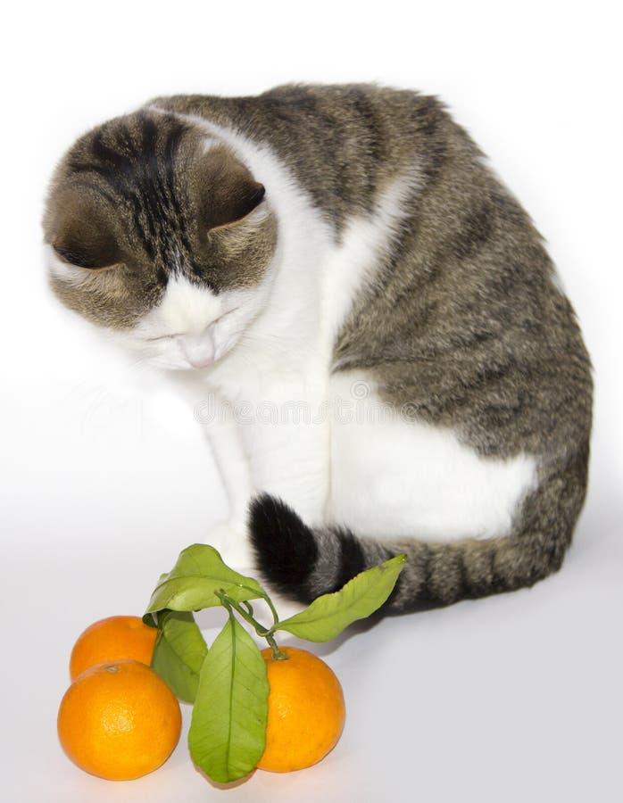 Bello gatto leggero con i mandarini fotografie stock