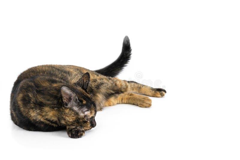 Bello gatto nero e seduta gialla del modello isolati sul fondo bianco fotografia stock libera da diritti