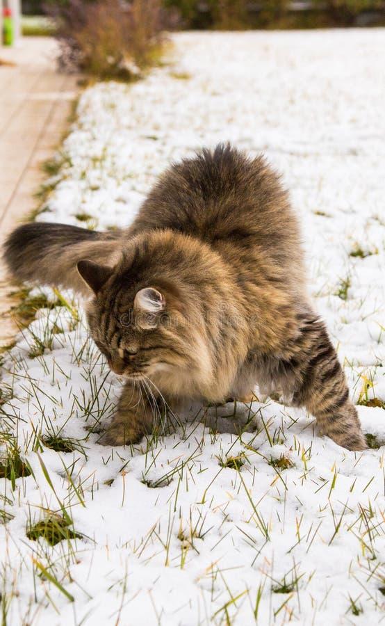 Bello gatto persiano della razza siberiana nel giardino nell'orario invernale, soriano marrone maschio fotografia stock libera da diritti