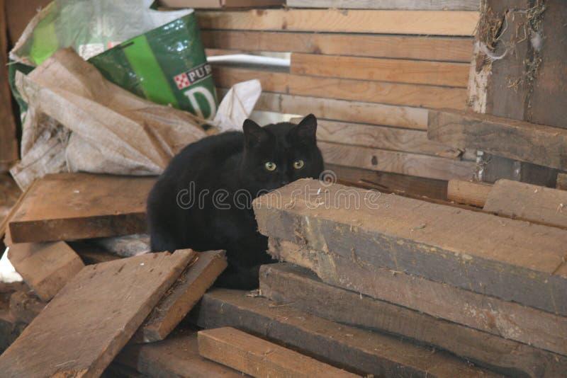 Bello gatto sano del granaio con il cappotto nero molto spesso di A fotografia stock libera da diritti