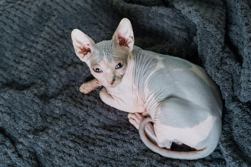 Bello gatto Sphynx fotografie stock