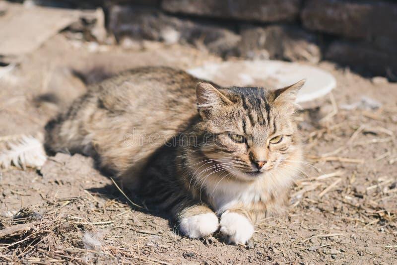 Bello gatto a strisce lanuginoso che si trova sulla terra un giorno soleggiato fotografia stock libera da diritti