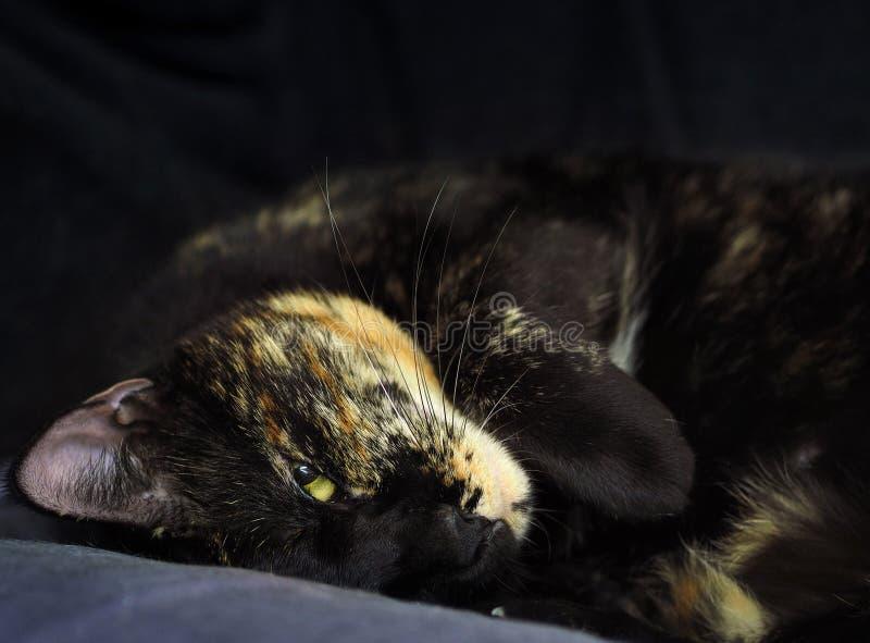 Bello gatto tricolore immagini stock libere da diritti