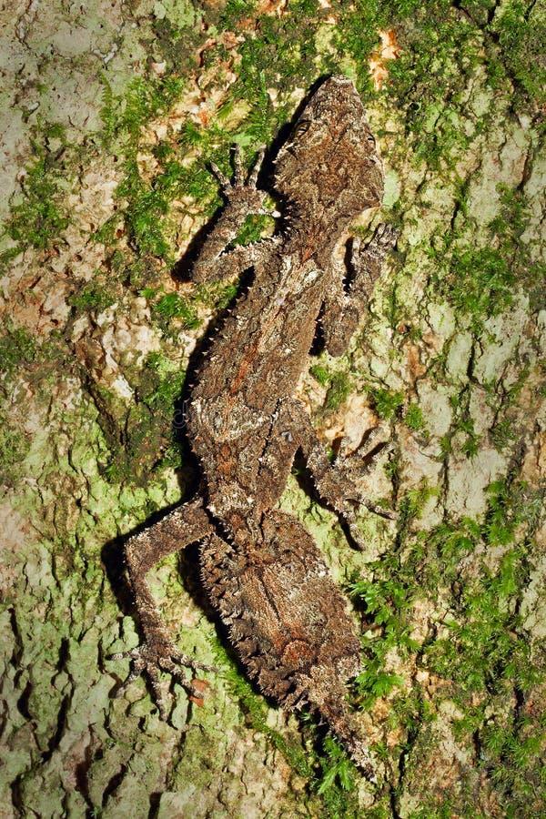 Bello Gecko di Leaftail, cornutus di Saltuarius fotografia stock