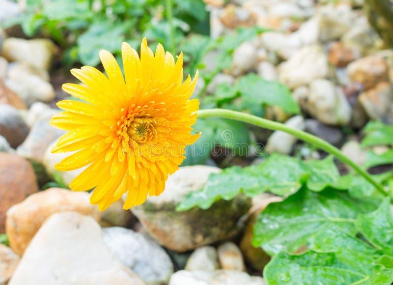 Bello gerbera del fiore Margherita di Barberton immagini stock