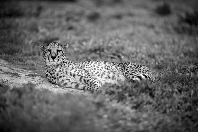 Bello ghepardo selvaggio che riposa sui campi verdi, in Bla fotografia stock