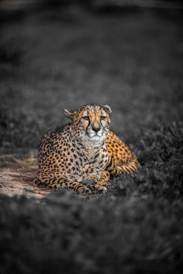 Bello ghepardo selvaggio che riposa sui campi verdi, fine su immagine stock