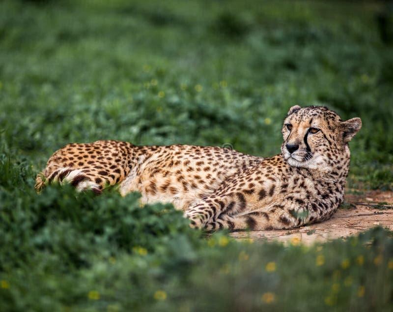 Bello ghepardo selvaggio che riposa sui campi verdi, fine su fotografie stock