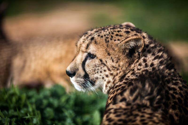Bello ghepardo selvaggio che riposa sui campi verdi, fine su fotografie stock libere da diritti