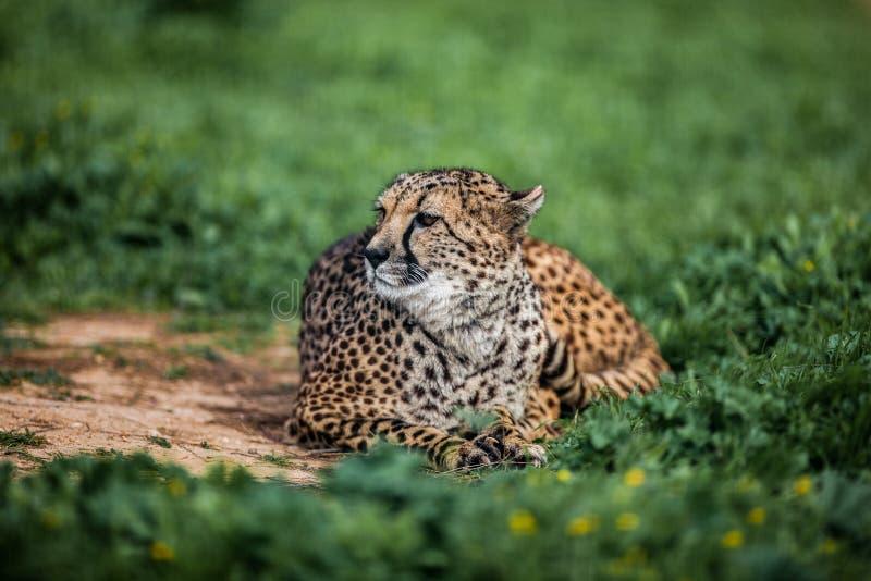 Bello ghepardo selvaggio che riposa sui campi verdi, fine su immagini stock